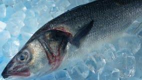 Рыбы трофея на льде сток-видео
