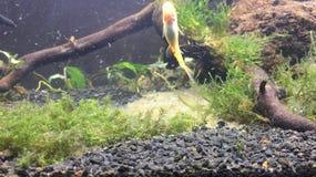 Рыбы уборщика стоковое изображение rf