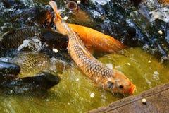Рыбы удачи Стоковое Изображение