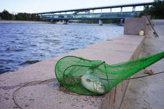 Рыбы, уловленные в реке Москвы Стоковое фото RF
