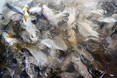 Рыбы фуража Стоковое Изображение