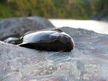 Рыбы хариуса Стоковые Фотографии RF