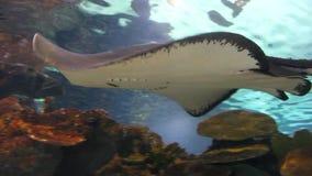 Рыбы хвостоколового видеоматериал