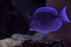 Рыбы хирурга Стоковая Фотография RF