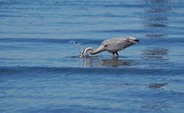 Рыбы цапли большой сини заразительные Стоковое Изображение