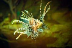 Рыбы льва в аквариуме Стоковое Изображение