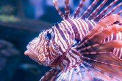 Рыбы льва в темной воде Стоковое фото RF