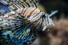Рыбы льва Стоковые Фотографии RF