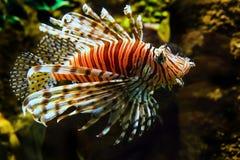 Рыбы льва Стоковая Фотография