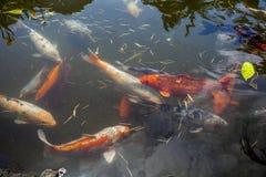 Рыбы Японии вызывают рыб красочных, много рыб карпа или Koi много colo Стоковые Фото