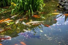 Рыбы Японии вызывают рыб красочных, много рыб карпа или Koi много colo Стоковое Изображение RF