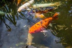 Рыбы Японии вызывают рыб красочных, много рыб карпа или Koi много colo Стоковое Изображение