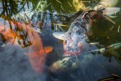 Рыбы Японии вызывают рыб красочных, много рыб карпа или Koi много colo Стоковые Изображения