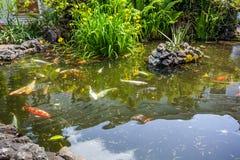 Рыбы Японии вызывают рыб красочных, много рыб карпа или Koi много colo Стоковое фото RF