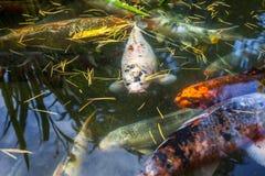 Рыбы Японии вызывают рыб красочных, много рыб карпа или Koi много colo Стоковая Фотография RF