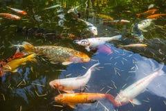 Рыбы Японии вызывают рыб красочных, много рыб карпа или Koi много colo Стоковые Фотографии RF