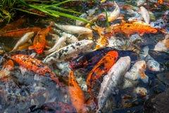 Рыбы Японии вызывают рыб красочных, много рыб карпа или Koi много colo Стоковое Фото