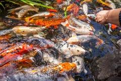 Рыбы Японии вызывают рыб красочных, много рыб карпа или Koi много colo Стоковая Фотография