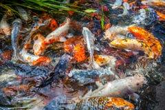 Рыбы Японии вызывают рыб красочных, много рыб карпа или Koi много colo Стоковые Изображения RF