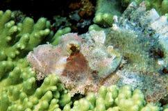 рыбы дракона возглавляют макрос ядовитый Стоковое Фото