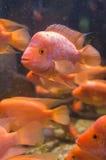 Рыбы Amphilophus Citrinellus стоковое изображение rf