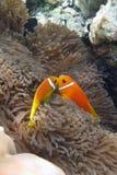 рыбы anenome стоковые фотографии rf