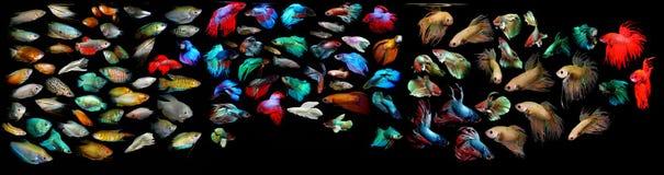 Рыбы Aquaarium Семья Anabantoidae Стоковая Фотография RF