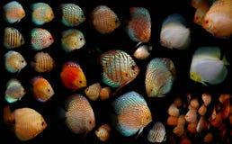 Рыбы Aquaarium Семья Cichlidae Стоковые Изображения RF