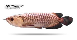 Рыбы Arowana изолированные на белой предпосылке Вид Азии Путь клиппирования стоковая фотография rf