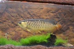 Рыбы Arowana Стоковое Фото