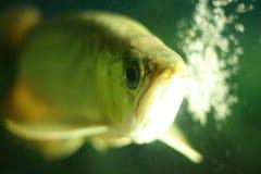 рыбы arwana Стоковое фото RF