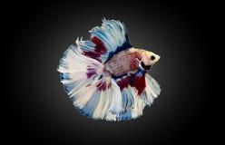 Рыбы Betta, воюя рыбы, сиамские воюя рыбы изолированные на черной предпосылке Стоковое Изображение