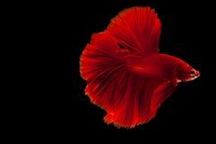 Рыбы Betta воюя стоковое фото rf