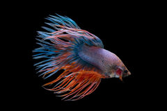 Рыбы Betta вычуры Crowntail Стоковые Изображения