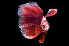 Рыбы Betta в действии свободы Стоковое Изображение