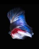 Рыбы Betta Захватите moving момент красно-голубого сиамского fighti Стоковое Изображение