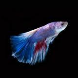Рыбы Betta Захватите moving момент красно-голубого сиамского fighti Стоковые Изображения