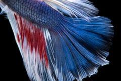 Рыбы Betta Захватите moving момент красно-голубого сиамского fighti Стоковые Изображения RF