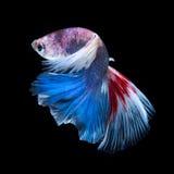 Рыбы Betta Захватите moving момент красно-голубого сиамского fighti Стоковое Фото