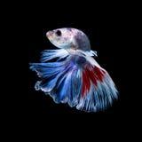 Рыбы Betta Захватите moving момент красно-голубого сиамского fighti Стоковые Фотографии RF
