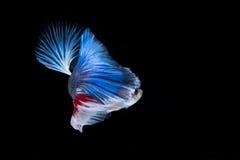 Рыбы Betta Захватите moving момент красно-голубого сиамского fighti Стоковая Фотография RF