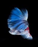 Рыбы Betta Захватите moving момент красно-голубого сиамского fighti Стоковое Изображение RF