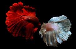 Рыбы Betta или Saimese воюя стоковая фотография rf