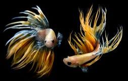 Рыбы Betta или Saimese воюя стоковые изображения rf