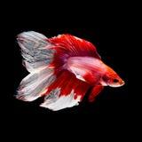Рыбы Betta на черноте Стоковая Фотография RF