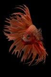 Рыбы betta Сиама Стоковое Изображение