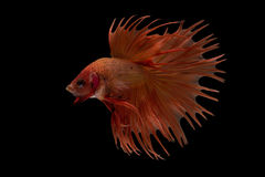Рыбы betta Сиама Стоковые Изображения