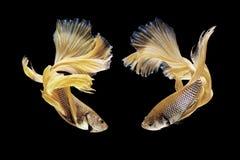 Рыбы Betta, сиамские воюя рыбы изолированные на черноте Стоковая Фотография RF