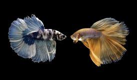 Рыбы Betta, сиамские воюя рыбы изолированные на черноте Стоковые Фото