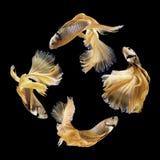 Рыбы Betta, сиамские воюя рыбы изолированные на черноте Стоковые Изображения